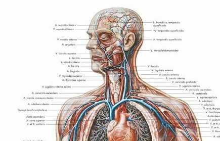 Gefäß-System des Menschen